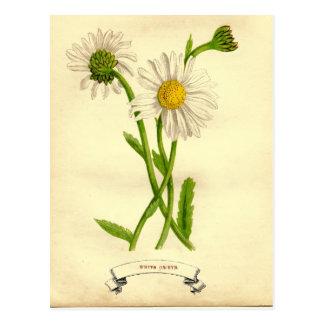 Vintages Gänseblümchen-botanische Illustration Postkarte