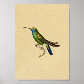 Vintages Kolibri-Druck-Gelb-Blau 1830 Poster