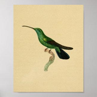 Vintages Kolibri-Druck-Grün-Schwarzes 1830 Poster