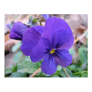Violette Viola Postkarte