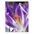 Violetter Frühlingskrokus Postkarte