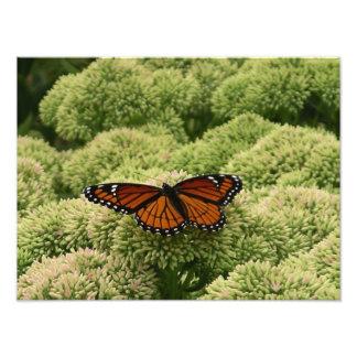 Vizekönig-Schmetterlings-schöne Natur-Fotografie Fotodruck