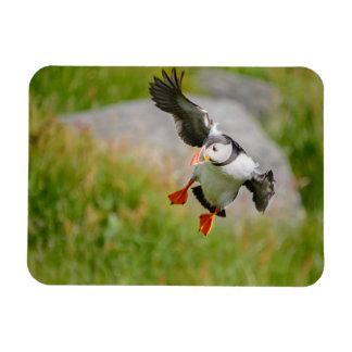 Vogel des atlantischen Papageientauchers, der Magnet