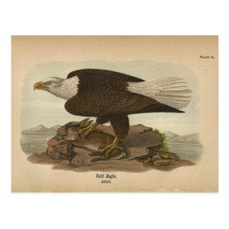 Vogel-Weißkopfseeadler-Postkarte 1890 Postkarte