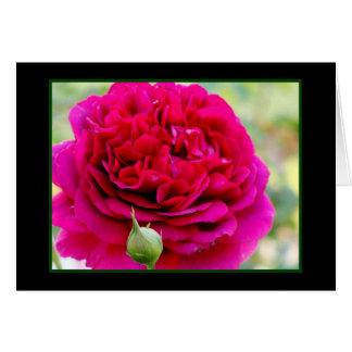 Volle Blüte-Rose Karte
