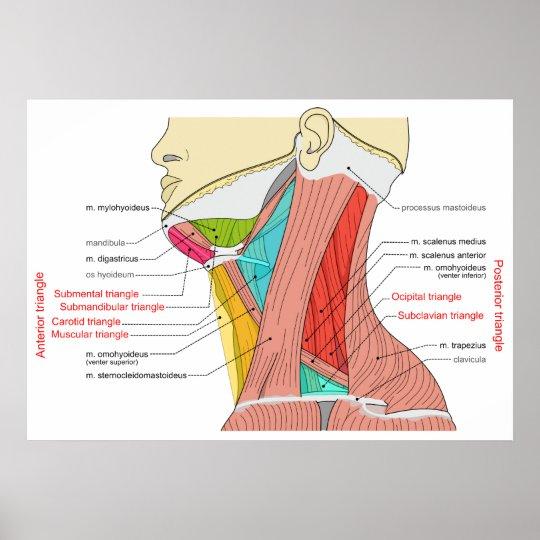Vorhergehende u. hintere Dreiecke der Hals-Muskeln Poster | Zazzle