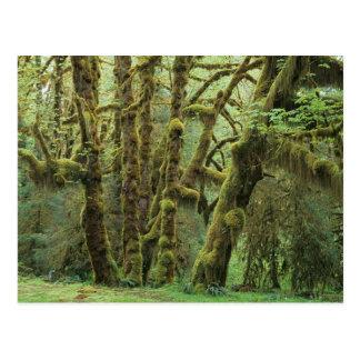 WA, olympisches NP, Hoh Regen-Wald, Hall von Postkarte