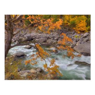 WA, Wenatchee staatlicher Wald, Ahornbaum und Postkarte