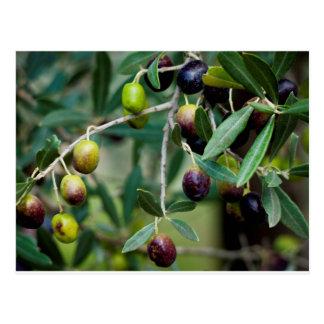 Wachsende Oliven Postkarte