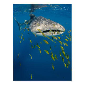 Walhai mit Fischen, Indonesien Postkarte