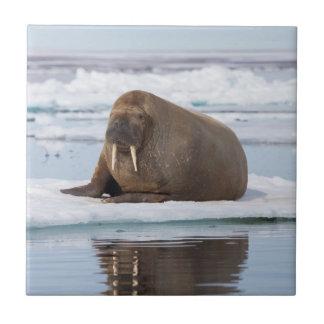 Walroß, das auf Eis, Norwegen stillsteht Fliese