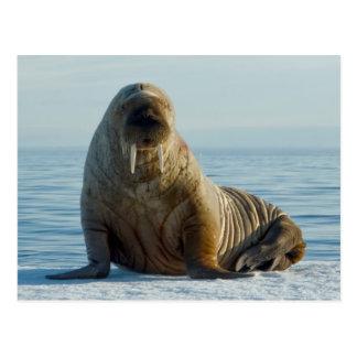 Walross-Erholungen auf Sommerseeeis Postkarten