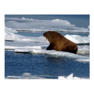 Walroß im Nordpolarmeer Postkarte