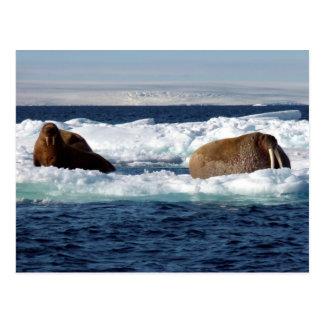 Walrosse in Storoya, Svalbard Postkarten
