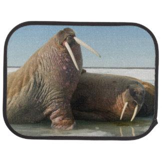 Walroßgruppen-Erholungen auf Seeeis unter einem Autofußmatte