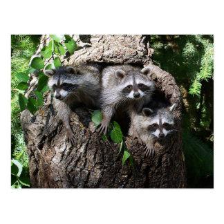 Waschbär - die drei Freunde Postkarte