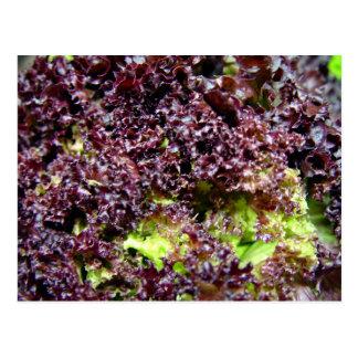 Wasserkulturkopfsalat-Blätter Postkarte