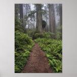 Weg durch die riesigen Rotholzbäume hüllte 2 ein Poster