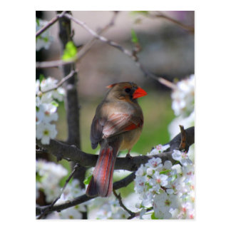 Weibliche Kardinals-Postkarte Postkarte