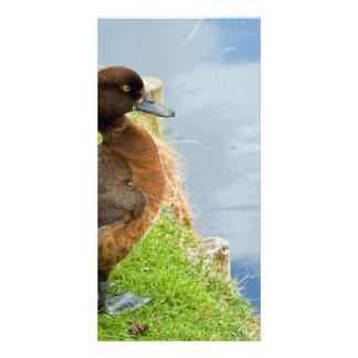 Weibliche rötlich braune büschelige Taucherente im Fotokartenvorlage