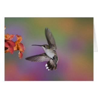 Weiblicher karminroter Throated Kolibri im Flug, 2 Karte