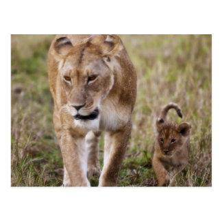 Weiblicher Löwe mit Jungem (Panthera Löwe) wie Postkarte