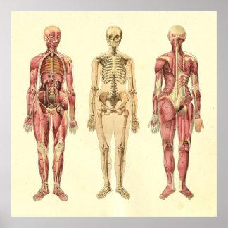 Weibliches Muskel-u. Skelett-Anatomie-Plakat Poster