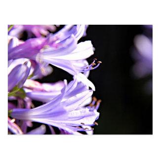 Weiche lila Agapanthus-Blumen - Lilie des Nils Postkarte