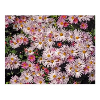 Weiche rosa Gänseblümchen-Muster-Postkarte Postkarte