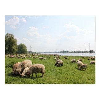 Weiden lassen der Schafe durch den Rhein Postkarte