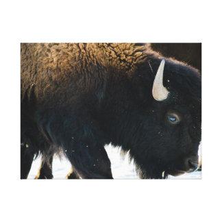 Weiden lassen des Büffels Leinwanddruck