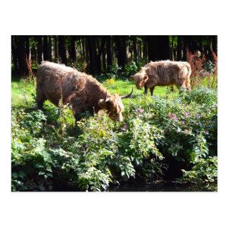 Weiden lassende Hochland-Kühe. Glasgow, Schottland Postkarte