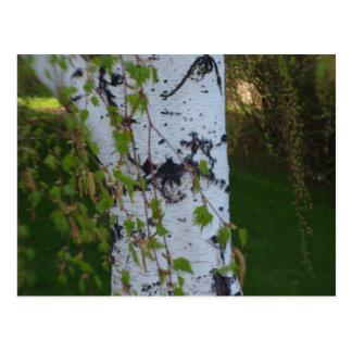 Weinender Birken-Baum Postkarte
