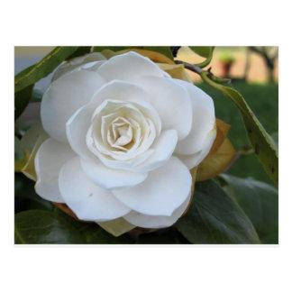Weiße Blume der Kamelie im Frühling Postkarte