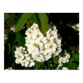 Weiße Bush-Blumen Postkarte