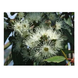 Weiße Eukalyptus-Blüten-Postkarte Postkarte