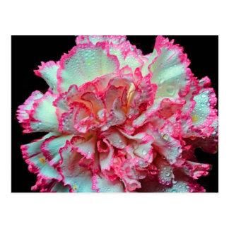 Weiße Gartennelke mit rosa Ordnung, Postkarte