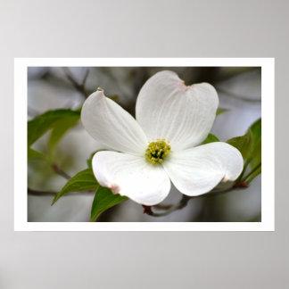 Weiße Hartriegel-Blume Plakat