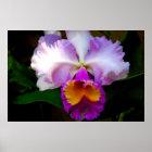 Weiße/lila/Gelb Cattleya Orchidee - Poster