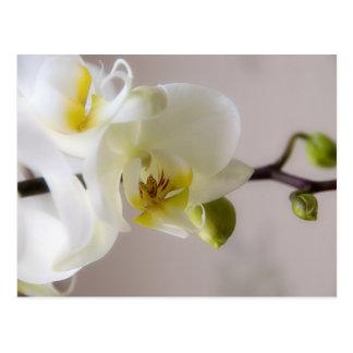 Weiße Orchidee • Postkarte