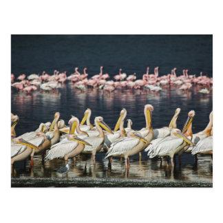 Weiße Pelikane, Pelecanus onocrotalus, See Postkarte