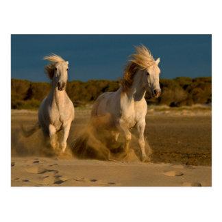 Weiße Pferde, die auf Strand | Camargue, Postkarte