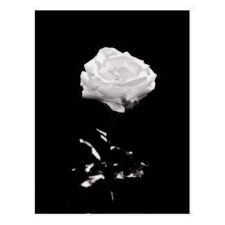 Weiße Rose auf schwarzem Hintergrund Postkarte