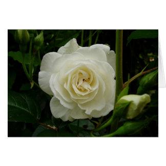 Weiße Rose Karte