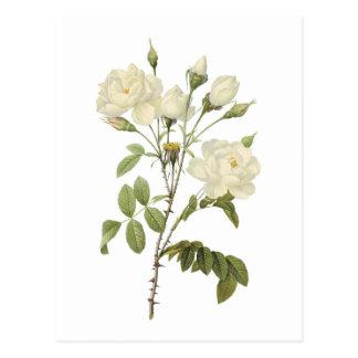 weiße Rose Rosa campanulata alba durch Redouté Postkarte