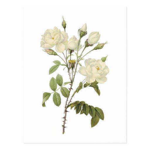 weiße Rose (Rosa campanulata alba) durch Redouté Postkarte