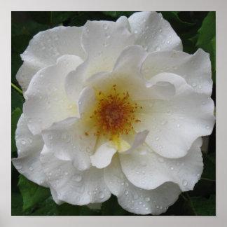 Weiße Rosen-Plakat-Drucke
