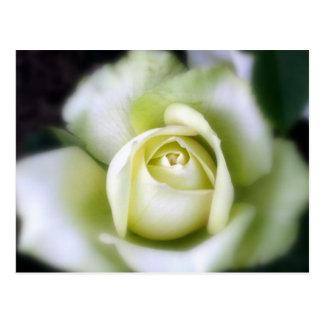 Weiße Rosen-weicher Fokus Postkarte