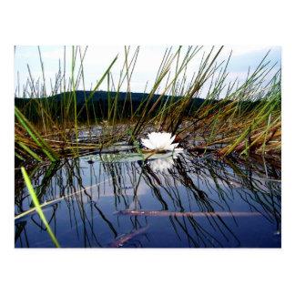 Weiße Sumpf Lilly Auflage Postkarte