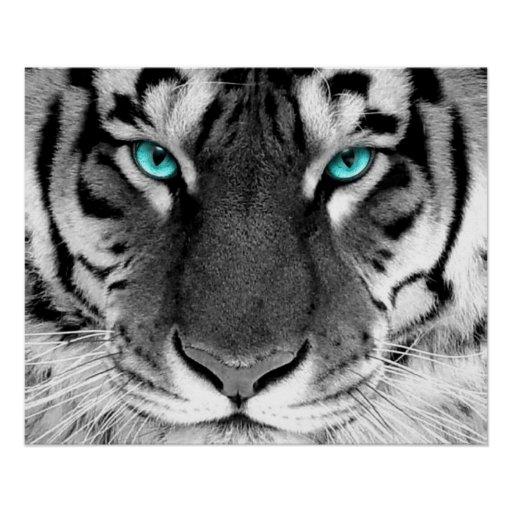 Weiße Tiger-Plakat-Augen Poster   Zazzle